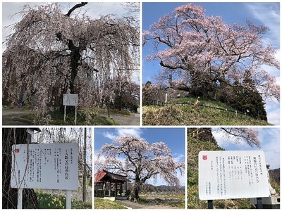 Collage_Fotor沼田の桜_Fotor.jpg